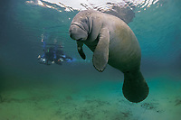 photographer & Florida manatee or West Indian manatee, Trichechus manatus latirostris, Crystal River, Florida No MR