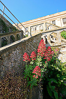 Centranthus ruber, Jupiter's Beard growing in building ruins Gardens of Alcatraz