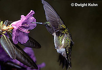 HU01-017z  Ruby-throated Hummingbird - drinking nectar from rhododendron flower as it hovers in air -  Archilochus colubris