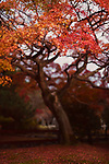 Beautiful red Japanese maple tree, Acer palmatum, in a garden in autumn Kyoto, Japan