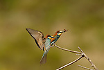 Bee Eater ( Merops Apiaster ) sitting on end of branch with another Bee Eater in flight about to land.Andalucia, Spain.
