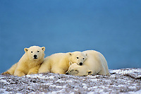 Polar Bears--sow with cubs--resting along the Beaufort Sea coast, Arctic National Wildlife Refuge, Alaska.  Oct.