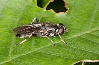 Langbauchschwebfliege, Langbauch-Schwebfliege, Schwebfliege, Xylota spec., Common Red Leafwalker