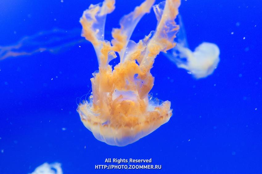 Jellyfish on blue background in Sentosa aquarium, Singapore