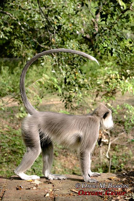 Hanuman Langur With Tail In Air