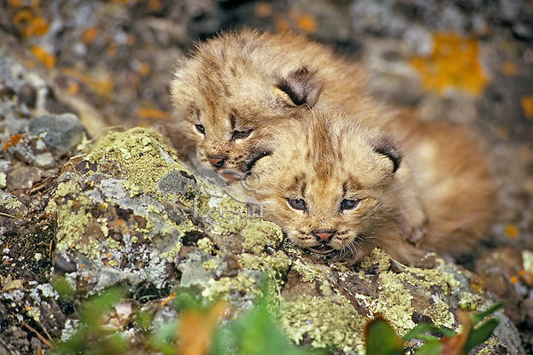 Young Canadian Lynx (Lynx canadensis) Kittens.  Western U.S., spring.