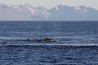 Fin Whale Balaenoptera physalus Pair surfacing near land Spitsbergen Arctic Norway North Atlantic