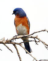 Adult male eastern bluebird