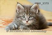 Marek, ANIMALS, REALISTISCHE TIERE, ANIMALES REALISTICOS, cats, photos+++++,PLMP2372,#a#