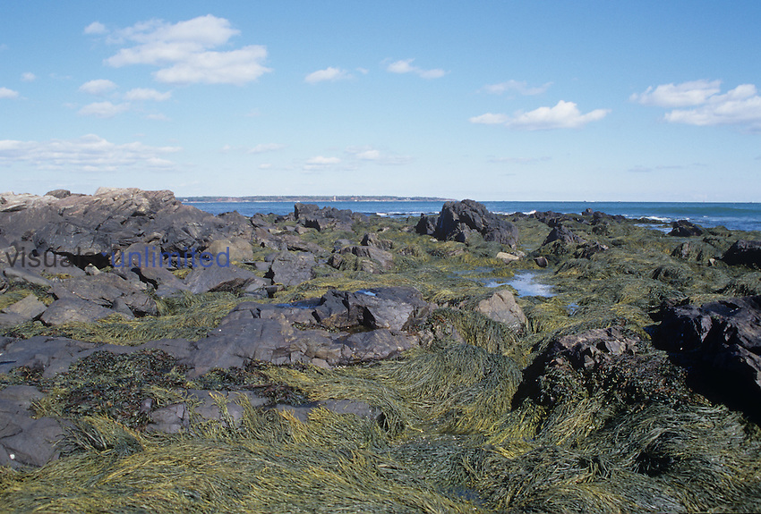 New England rocky coast and seaweeds, Odiorne State Park, New Hampshire, USA.