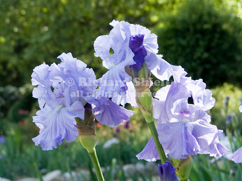Tennessee Gentleman Iris, Tall Bearded type
