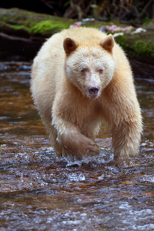 "Kermode ""Spirit"" Bear walking though a river"