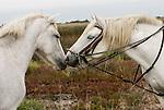 Camargue-Aigues Mortes. I guardians a cavallo si occupano dell'allevamento dei cavalli e dei tori. Nella foto portano al pascolo una mandria di cavalli camarguesi.ixed >