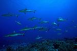 School of Gray Reef Sharks (Carcharhinus amblyrhynchos), South Pass, Fakarava, Tahiti Island.