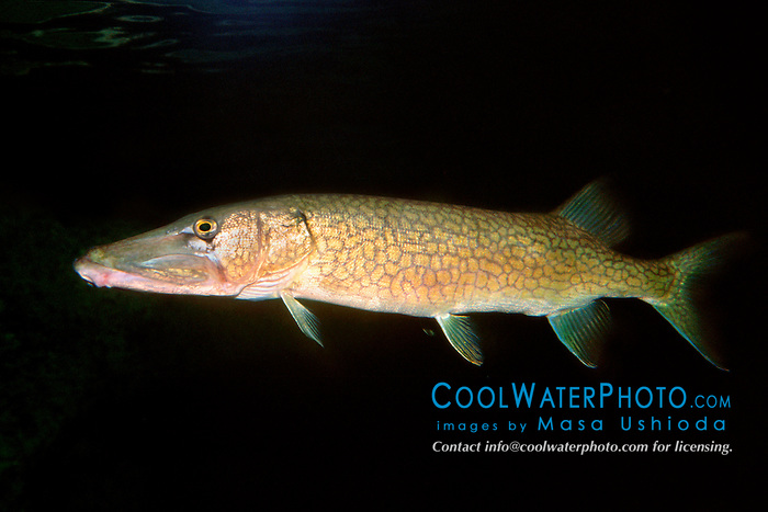 chain pickerel (c), .Esox niger, .Florida.