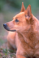 Layla, an Australian Cattle Dog, or Red-Heeler, portrait in her Florida backyard.(Photo by Brian Cleary/www.bcpix.com)