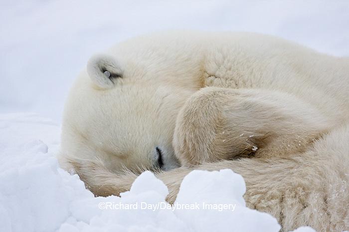 01874-11506 Polar Bear (Ursus maritimus)  sleeping Churchill Wildlife Management Area MB