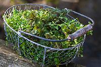 Erntekorb mit jungen, frischen Blätter im zeitigen Frühjahr, Ernte, Kräuterernte, Kräutertee, Kräutersammeln, harntreibende Kräuter, Frühjahskur, Frühlingskur, Blutreinigung, Stoffwechselanregend. Kletten-Labkraut, Klett-Labkraut, Klettenlabkraut, Klettlabkraut, Klebkraut, Klettkraut, Galium aparine, Cleavers, Goosegrass, catchweed, stickyweed, stickybud, robin-run-the-hedge, sticky willy, Le Gaillet gratteron. Gewöhnliche Vogelmiere, Vogelmiere, Vogel-Sternmiere, Hühnerdarm, Stellaria media, common chickweed, chickweed, chickenwort, craches, maruns, winterweed, La Stellaire intermédiaire, Morgeline. Große Brennnessel, Brennnessel, Brennnesseln, Brennessel, Urtica dioica, Stinging Nettle, common nettle, nettle, nettle leaf, La grande ortie, ortie dioïque, ortie commune