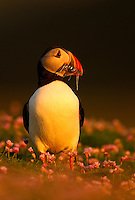 Atlantic Puffin Fratercula arctica carrying fish back to its chick, Fair Isle, Shetland Isles, Scotland