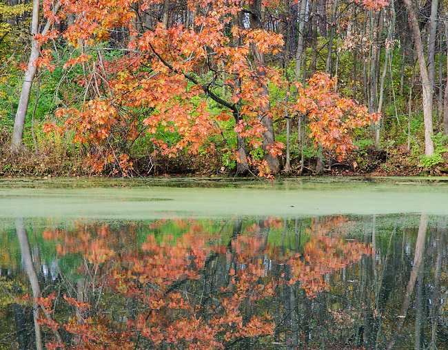 An autumn colored Maple is framed by two leaning trees on the shore of Mark's Pond, Green Valley Forest Preserve, DuPage County, Illinois