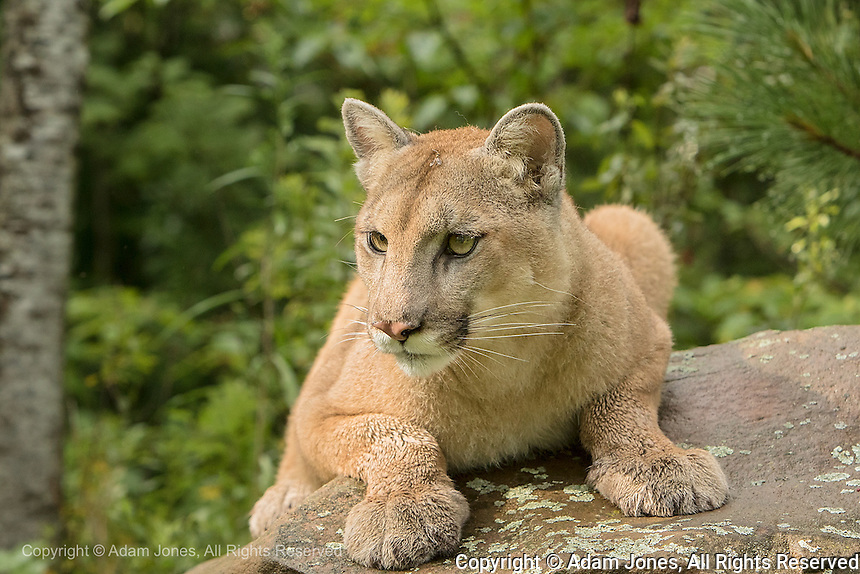 Adult Mountain Lion, Puma concolor<br /> (Controlled Situation) Minnesota