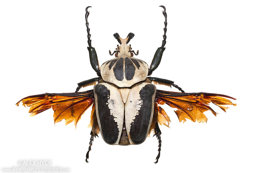 Goliath Beetle (Goliathus sp.). Museum specimen, originating from Africa. website