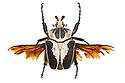 Goliath Beetle (Goliathus sp.). Museum specimen, originating from Africa. website