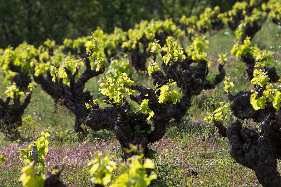 Weinrebe, Wein, Weintraube, Weintrauben, Wein-Rebe, Weinanbau, Anbau, Weinberg, Weinstock, Weinstöcke schlagen im Frühjahr aus, Vitis vinifera, Grape Vine, grape, grapes. Frankreich, Languedoc-Roussillon