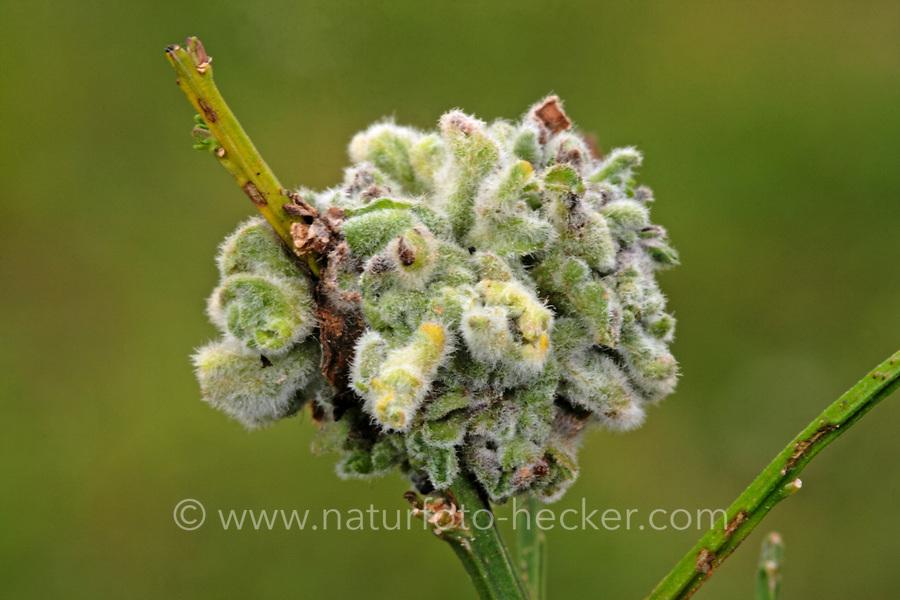 Ginster-Gallmilbe, Ginster-Gallmilbe, Galle, Gallen an Besenginster, Ginster, Aceria genistae, broom gall mite, Scotch broom gall mite