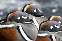 The Harlequin Duck (Histrionicus histrionicus) is a small sea duck.  In North America it is also known as Lords and ladies.<br /> Their breeding habitat is cold fast moving streams. In Yellowstone, they can be found at LeHardy Rapids and several other locations through out the Park in early May. These birds feed by swimming under water or diving. They also dabble. They eat molluscs, crustaceans and insects. Harlequins have smooth, densely packed feathers that trap a lot of air within them. This is vital for insulating such small bodies against the chilly waters they ply. It also makes them exceptionally buoyant, making them bounce like corks after dives.