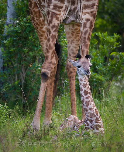 Baby Masai giraffe rests in the Maasai Mara, as its mother towers above, keeping a keen watch out for predators.