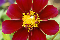 Lady Bug on Zinnia Flower. Closeup of Lady Bug on flower.