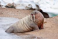 Atlantic walrus, Odobenus rosmarus rosmarus, adult, male, Torellneset, Nordaustlandet, Hinlopen Strait, Svalbard, Norway, Barents Sea, Atlantic Ocean