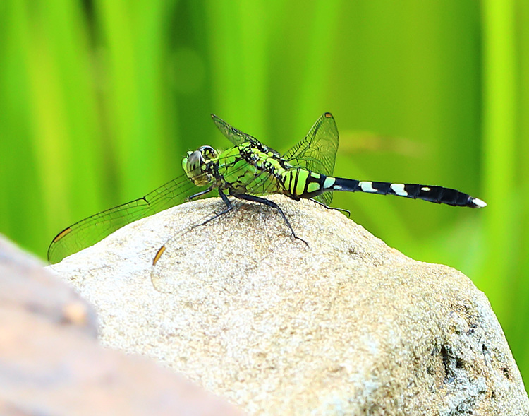 Common pondhawk female