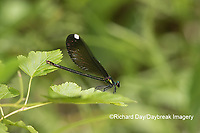06014-00318 Ebony Jewelwing (Calopteryx maculata) female Washington Co. MO