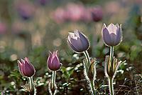 Prairie crocus (Anemone patens)<br />Sandilands Provincial Forest<br />Manitoba<br />Canada