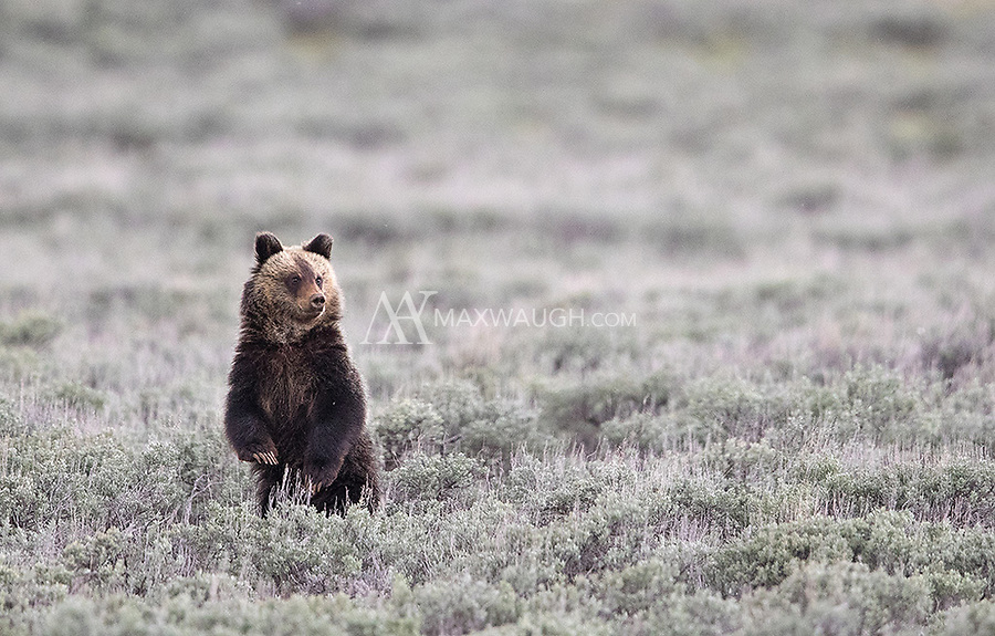 A subadult grizzly recently booted by its mother was quite wary as a large bison approached.