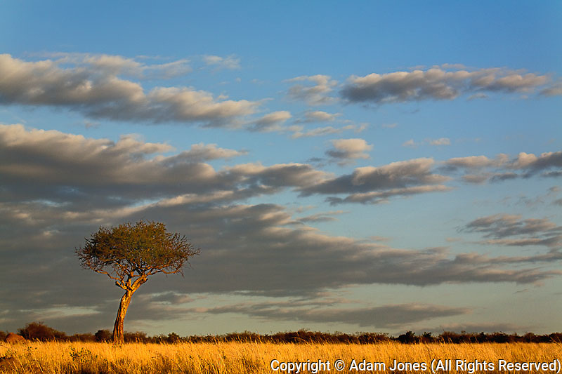 Single Umbrella Thorn Acacia tree at sunset, Acacia tortilis, Masai Mara Game Reserve, Kenya, Africa