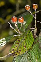 Gewöhnliche Mehlbeere, Mehl-Beere, Früchte, Sorbus aria, Whitebeam, Alisier blanc, Alouchier