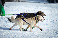 Nicholas Petit dogs run on Long Lake at the restart of the Iditarod sled dog race in Willow  Sunday, March 3, 2013.