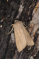 Schilfrohr-Wurzeleule, Rhizedra lutosa, large wainscot, Large Wainscot Moth, Isle of Wight wainscot. Eulenfalter, Noctuidae, noctuid moths, noctuid moth