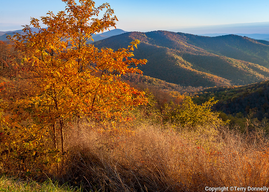 Shenandoah National Park, VA: Morning light on fall colored trees and grasses with the distant Shenandoah Mountains from the Tunnel Overlook