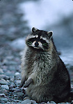 Raccoon sitting up near creek
