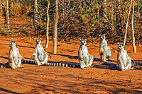 Sunbathing group of Ring-tailed Lemurs (Lemur catta), adults, Berenty Game Reserve, Madagascar, Africa