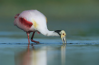Roseate Spoonbill, Ajaia ajaja, adult feeding, Welder Wildlife Refuge, Sinton, Texas, USA