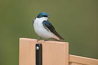 Tree Swallow (Tachycineta bicolor) perching on a nest box