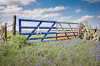 """Lone Star Gate with Bluebonnets"" - Considered to be the Bluebonnet Capital of North Texas, this picturesque scene is located in Ennis, Texas - a southeastern suburb of Dallas, Texas. Every April, bluebonnets attract thousands of visitors from across the state. As historian Jack Maguire so aptly wrote, ""It's not only the state flower but also a kind of floral trademark almost as well known to outsiders as cowboy boots and the Stetson hat."" He goes on to affirm that ""The bluebonnet is to Texas what the shamrock is to Ireland, the cherry blossom to Japan, the lily to France, the rose to England and the tulip to Holland."""