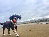 Daisy the Dog, running playing on the beach near Twin Rocks / Rockaway, in Oregon