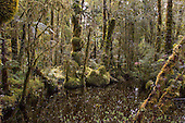 Moss covered trees in the swampy Westland rain forest lowlands, Westland District, West Coast, South Island, New Zealand.