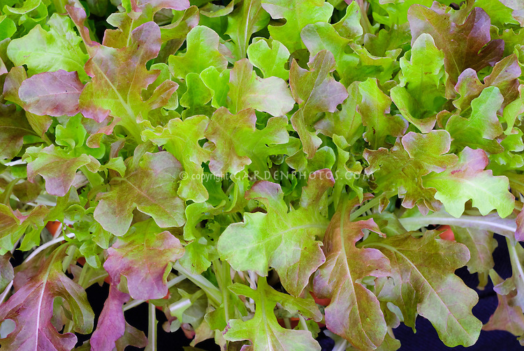 Lettuce Roselee salad leaves, red oakleaf type